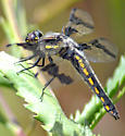 Eight-spotted Skimmer - Libellula forensis - female