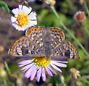 Walker's Metalmark - Plesioarida walkeri