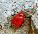 Red Beetle - Leptinotarsa rubiginosa