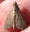 Moth - Rhectocraspeda periusalis