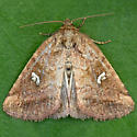 Included Cordgrass Borer Moth  - Photedes includens