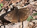 Which dusky wing? - Erynnis juvenalis