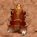 Posturing Moth - Arta statalis