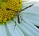 Maybe a crane fly?