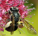 Mining Bee (Andrena crataegi) - Andrena crataegi - female