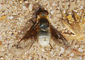 Orange County Bee Fly Archives (fall form) - Paravilla syrtis