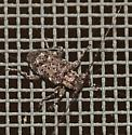 Another Small Beetle - Astylopsis sexguttata