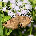Starred Skipper - Arteurotia tractipennis