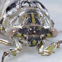 Big cicada, probably Tibicen auletes. - Megatibicen auletes - female