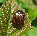 Russet Alder Leaf Beetle? - Calligrapha alni