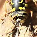 Tiger Eye Chevron  Fly - Eye - Spilomyia longicornis - male