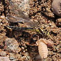 Dragonfly with exuviae - Hylogomphus adelphus