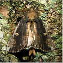 Schizura ipomoeae - Hodges #8005 - Schizura ipomaeae
