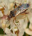 Mirid? on milkweed - Liorhyssus hyalinus
