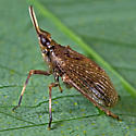 Unknown Bug - Scolops sulcipes