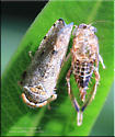 Cicadellidae sp - Orientus ishidae
