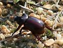 ox beetle? - Strategus antaeus