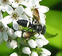Weevil wasp - Cerceris fumipennis