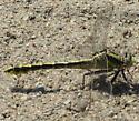 Plains Clubtail Dragonfly - Gomphurus externus - female