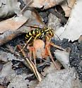 Wasp Paralyzing Spider - Poecilopompilus interruptus