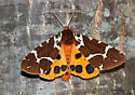 Great Tiger Moth - Hodges#8166 (Arctia caja) - Arctia caja