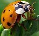 Multicolored Asian Ladybeetle - Harmonia axyridis