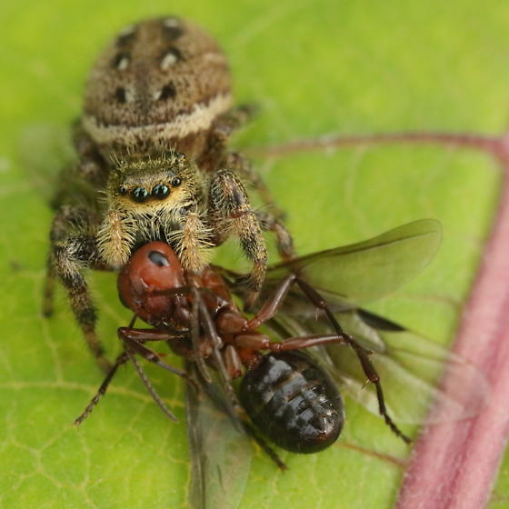 The spider and the ant - Phidippus clarus - female