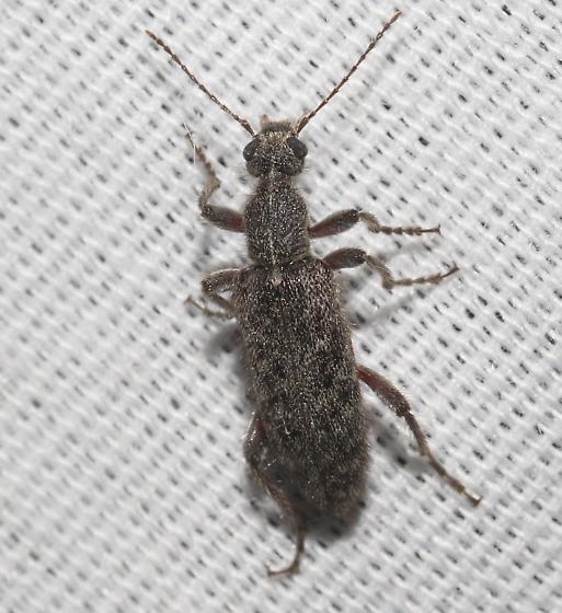 Beetle - Retocomus constrictus