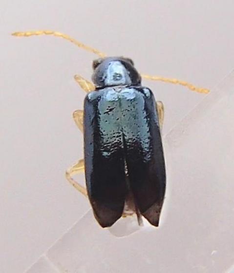 Small Blue Beetle - Scelolyperus liriophilus