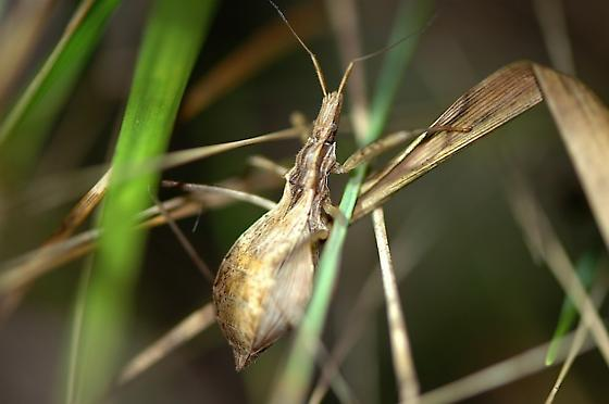 Assassin? - Stenopoda spinulosa