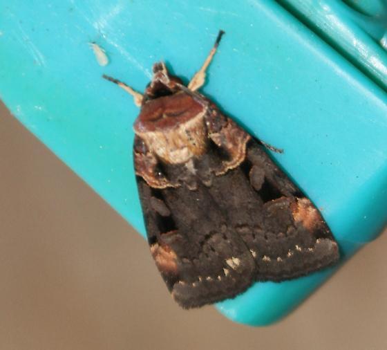 Pink-spotted dart moth  - Pseudohermonassa bicarnea