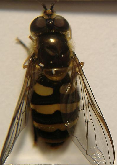Oregon Syrphid #1 dorsal view - Megasyrphus laxus - female