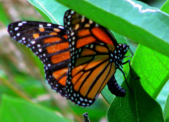 Female Monarch laying egg - Danaus plexippus - female