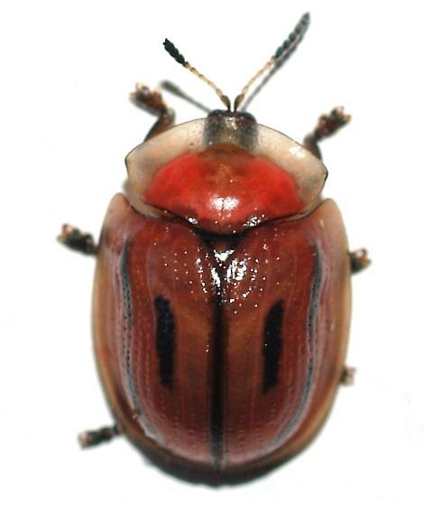 Cassidine - Jonthonota mexicana