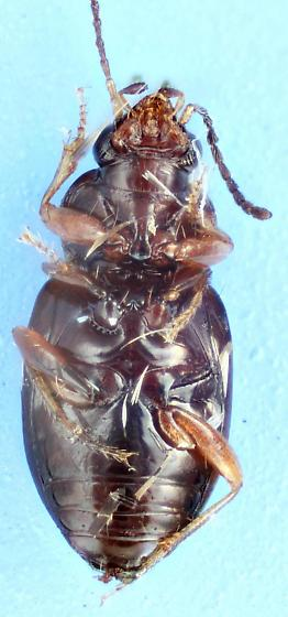 Elaphropus - Elaphropus xanthopus