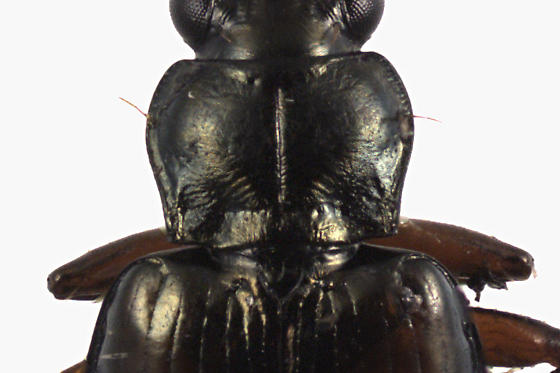 Ground beetle - Bembidion carolinense