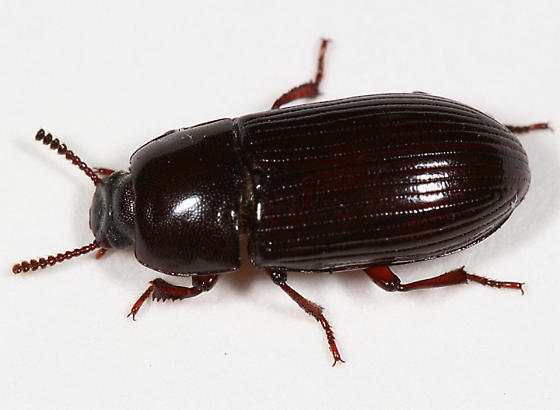 Darkling beetle - Uloma impressa