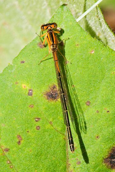 Orange Bluet? (No, Female Eastern Forktail) - Ischnura verticalis - female