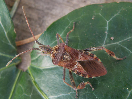 First beetle this year. - Leptoglossus occidentalis