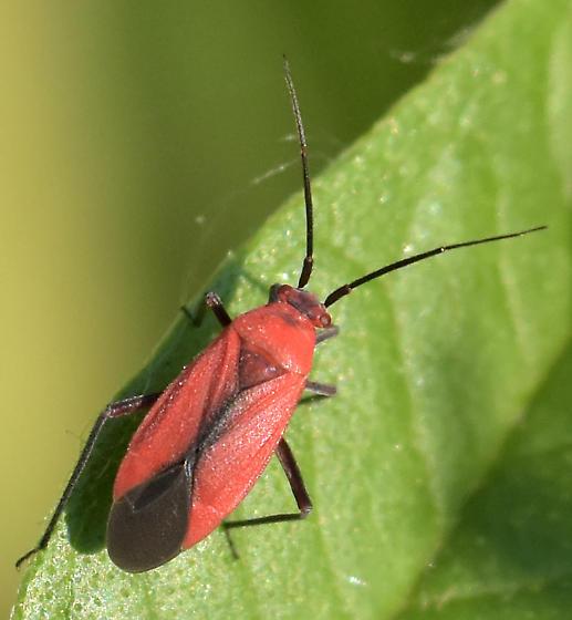 Oncerometopus? - Lopidea