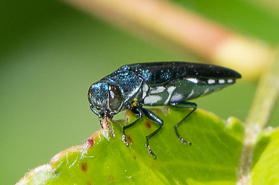 Metallic green boring beetle with white spots on side and underside - Agrilus acutipennis