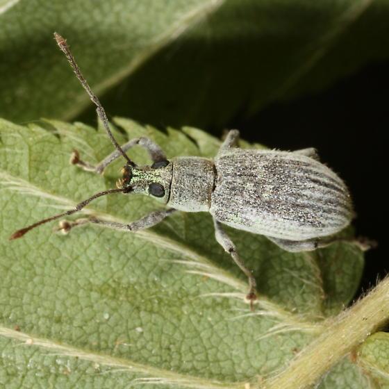 Green-headed weevil - Cyrtepistomus castaneus