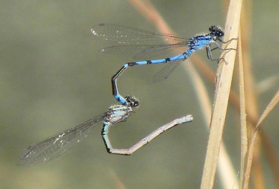 Sandhills Bluet tandem pair - Enallagma davisi - male - female