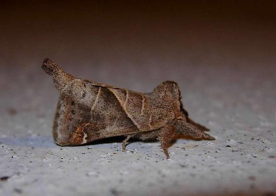 moth - Clostera inclusa