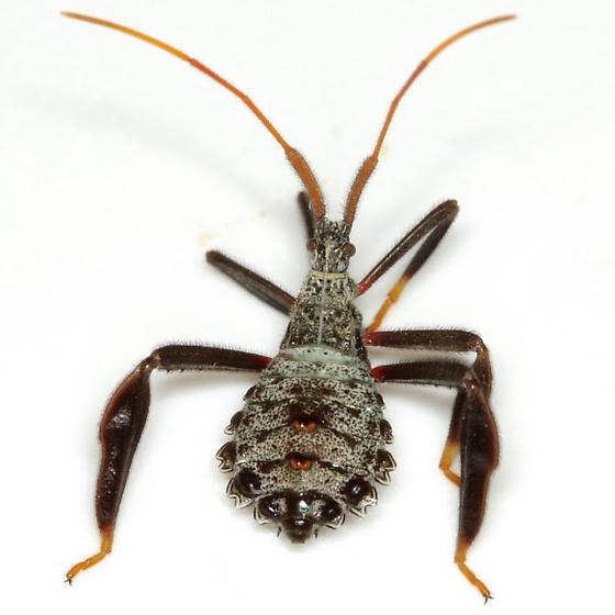 Acanthocephala