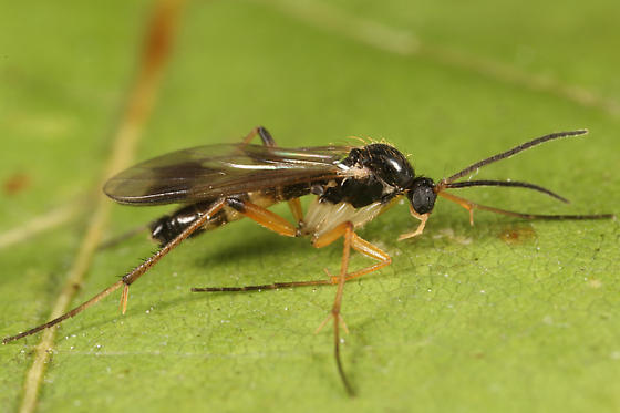 Fungus gnat of sorts? - Leia ventralis