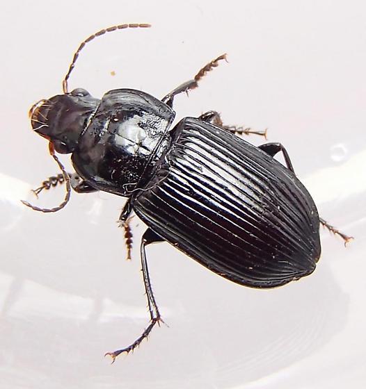 Beetle - Anisodactylus melanopus - male
