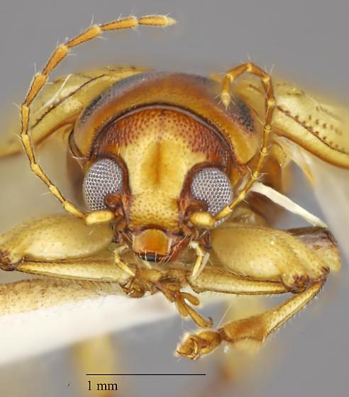 Coleoptera - Metachroma