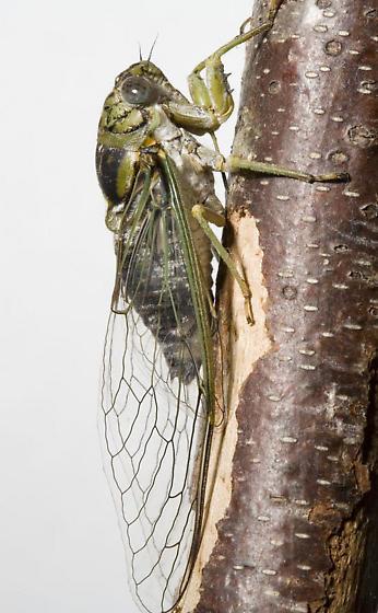 Diceroprocta vitripennis - female
