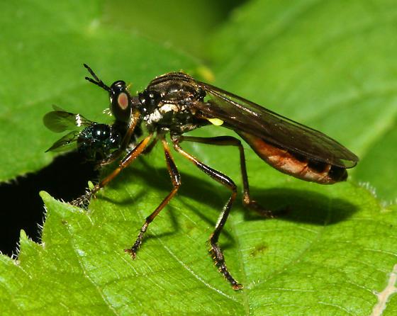unidentified Asilidae - Dioctria hyalipennis
